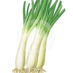 green-onions-24505959